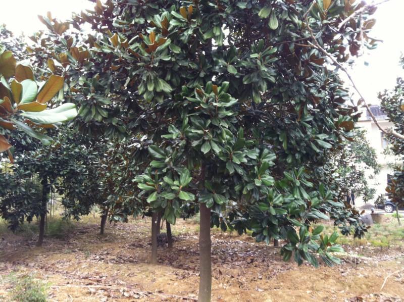 最新广玉兰树价格 钱眼产品