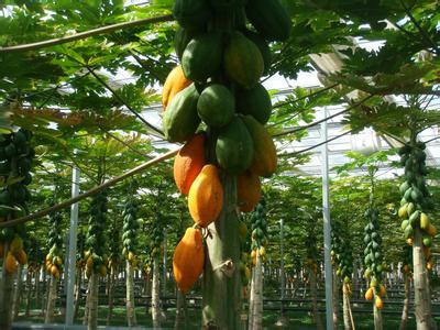 苗木基地木瓜树