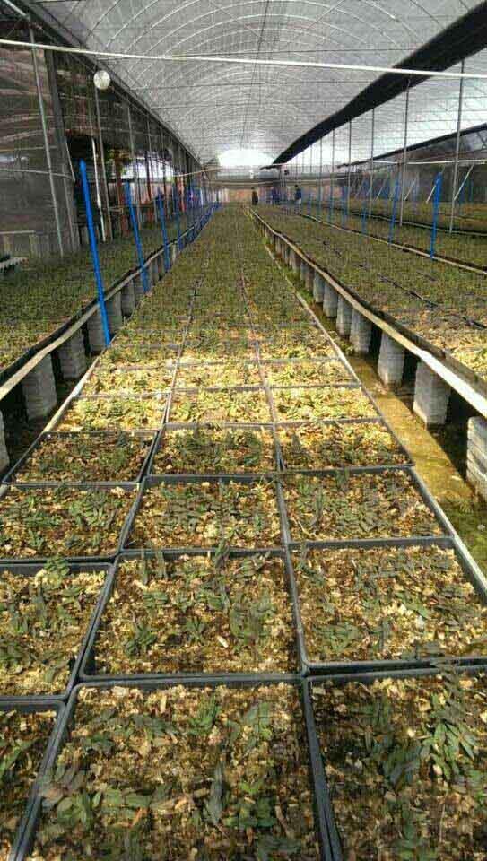 石斛种植洛阳铁皮石斛种植回收图片