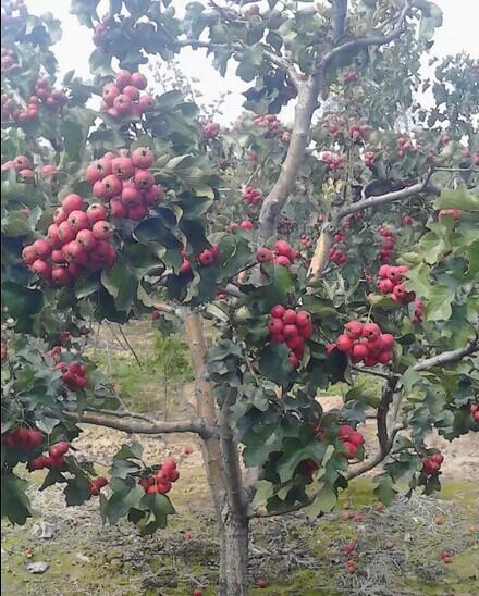 苹果树,柿子树,核桃树,山桃树,樱桃树.梨树
