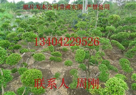 黄杨树什么季节能移栽