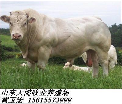 福建肉牛养殖场,如何选好肉牛品种,天鸿牧业