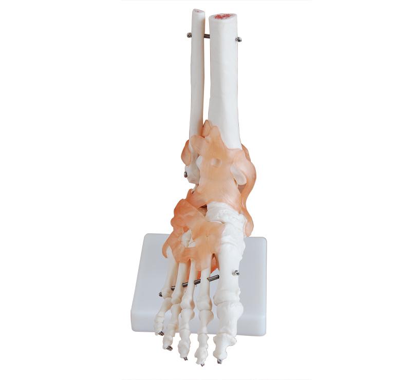 有脚骨结构