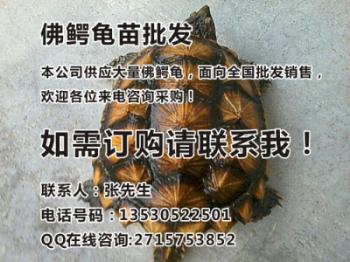 佛鳄龟价格_