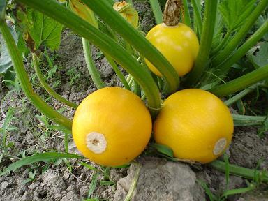 金珠西葫芦种子