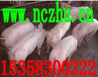 青海海东纯种太湖母猪价格