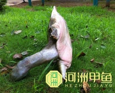 浙江野生甲鱼_浙江野生甲鱼养殖基地【河洲甲鱼】