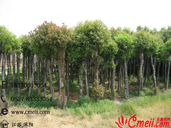 江苏沭阳香樟树价格-沭阳县长景园林苗木场