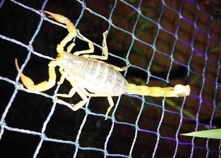 东亚钳蝎毒蝎养殖发展中心东亚钳蝎价格