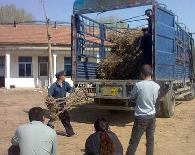 小枣树苗基地供应商