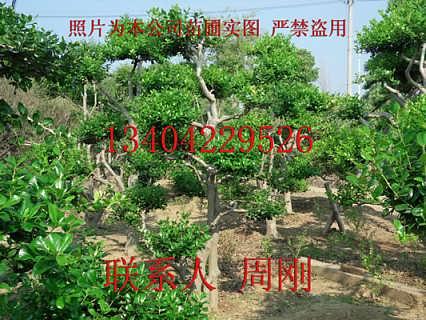骨 无刺枸骨 绿化苗木基地 庭院景观树木
