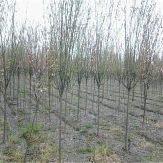 高杆西府海棠树 多少钱