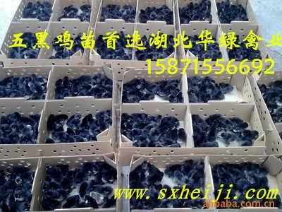 江西东乡绿壳蛋鸡苗生产厂家批发