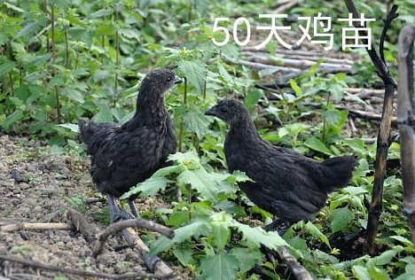纯种黑羽五黑鸡绿壳蛋鸡苗,五黑一绿绿壳蛋鸡鸡苗出售