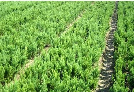 山东泰安龙柏价格表-四海缘苗木