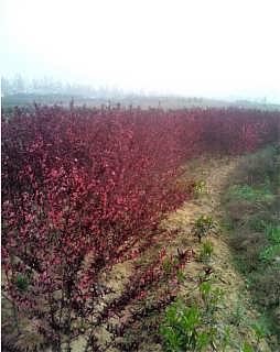 泰安西府海棠供应公司-四海缘苗木