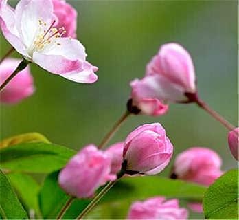 泰安西府海棠一般要多少钱-四海缘苗木