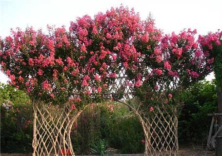 山东泰安紫薇得多少钱-四海缘苗木