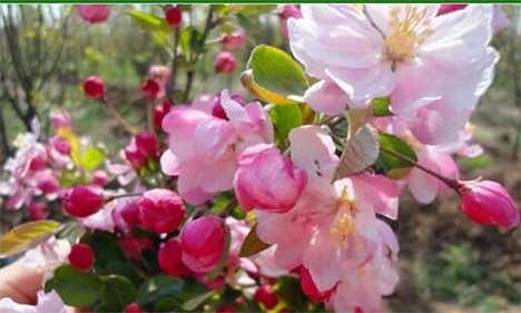 山东泰安樱花一般要多少钱-四海缘苗木