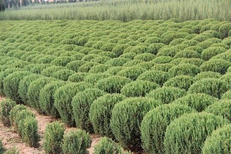 绿化苗木就选旺源苗木|桧柏小苗价格