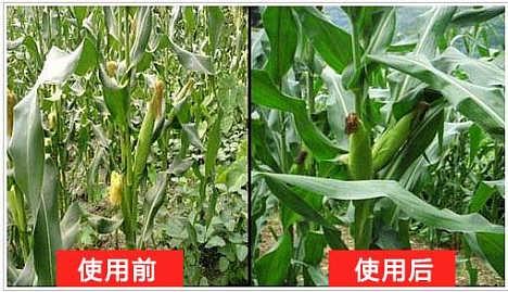 地福来生物肥在玉米上的应用效果