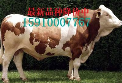 吴忠肉牛犊价格-山东新大地牛羊养殖场