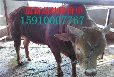 陕西肉牛回收价格怎么样-山东新大地牛羊养殖场