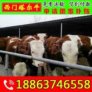 衡东县小牛犊价格