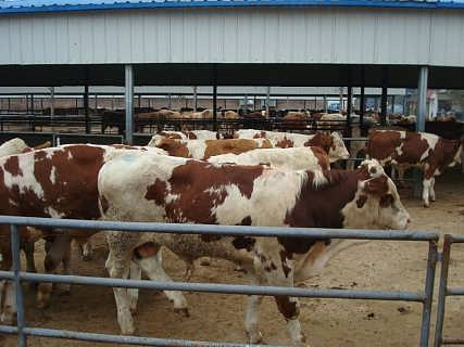 西门塔尔小牛犊价格牛犊多少钱一头
