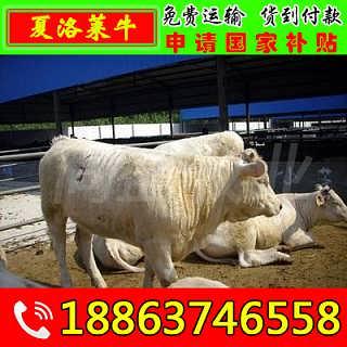 拉孜县黄牛养殖场-山东济宁畜牧局同盛牧业