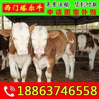 日喀则怀孕母牛价格-山东济宁畜牧局同盛牧业