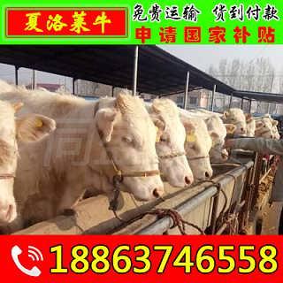 定结县牛犊价格-山东济宁畜牧局同盛牧业