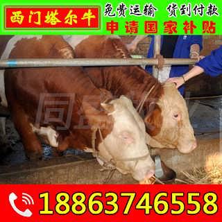 浮梁县肉牛犊多少钱一头 山东富通肉牛养殖场-山东济宁畜牧局同盛牧业