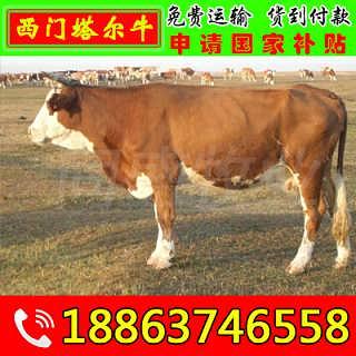 修水县鲁西黄牛牛犊价格 同盛肉牛养殖场-山东济宁畜牧局同盛牧业