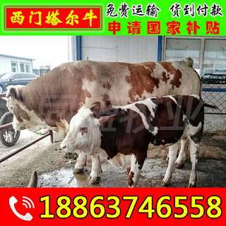 掇刀区肉牛犊多少钱一头 山东富通肉牛养殖场