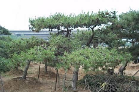 采购大量油松树苗,【绿都园林】油松小苗行情