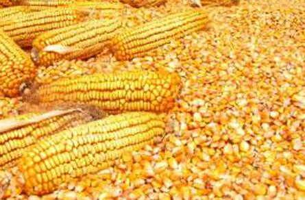 玉米酒糟粉麸皮小麦