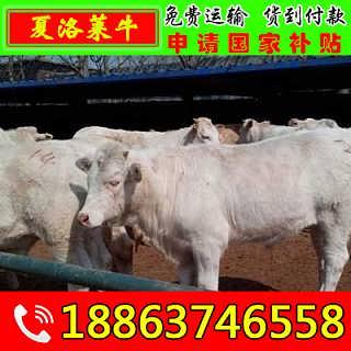 达县小黄牛价格 山东富通肉牛养殖场-山东济宁畜牧局同盛牧业