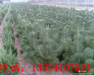 3米油松价格 山西3米油松 3米油松基地 2米5油松 3米油松-绛县晋航苗木种植专业合作社