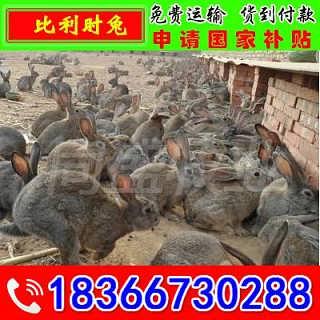 漳州公羊兔多少钱一只 免费咨询
