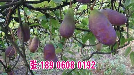 供应绿色水果