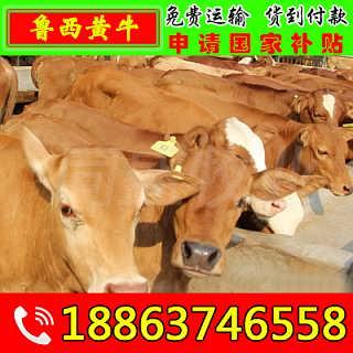 夏河县肉牛犊多少钱一头 山东富通肉牛养殖场