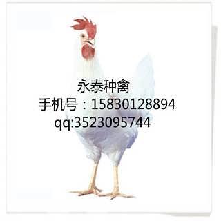 石家庄蛋鸡价格-石家庄市吉母种鸡孵化有限公司