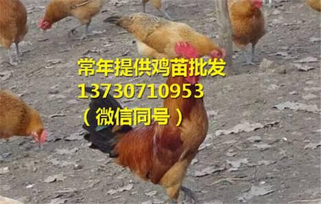 四川甘孜巴塘县快大黄鸡苗的价格,快大黄鸡苗品种