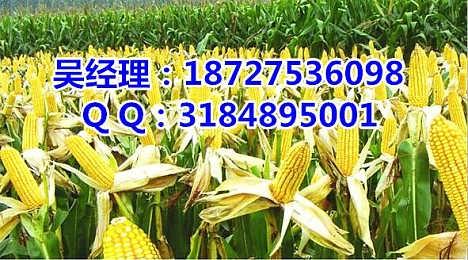 谁知道哪里大量收购玉米  松原收购玉米价格高