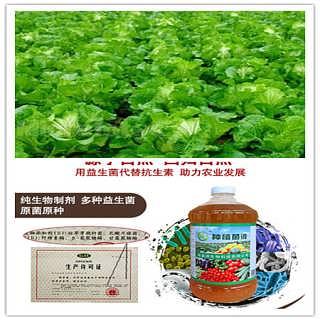 益富源种植菌液效果好大白菜为什么不包心怎么处理预防呢