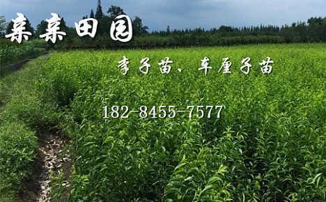 2018重庆云阳青脆李树苗品种好的李子树苗批发价格-成都亲亲田园甜樱桃种植农民专业合作社