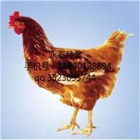 石家庄青年鸡价格-石家庄市吉母种鸡孵化有限公司