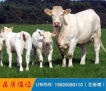 养牛基地出售肉牛 奶牛