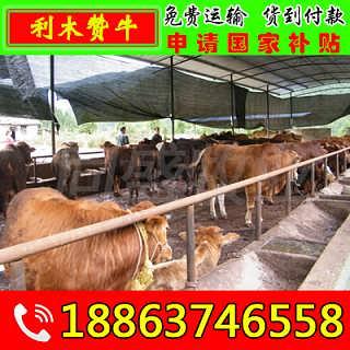 子洲县肉牛犊多少钱一头 山东富通肉牛养殖场-山东济宁畜牧局同盛牧业